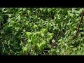 Фрагмент с конца видео Daio Wasabi Farm - Nagano - 大王わさび農場 - 4K Ultra HD