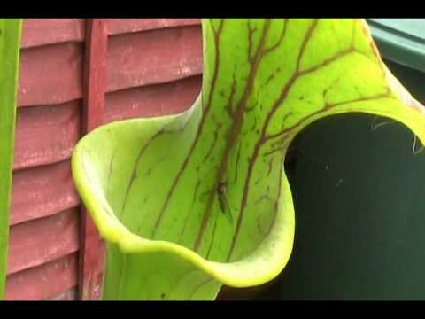 Pitcher Plant Swallows Hover Fly