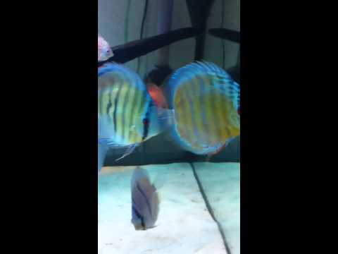 Wild heckle tefe green and cameta Discus