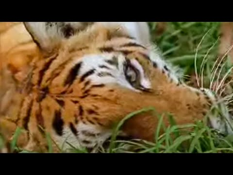 What is the future for tigers? - Battle to avoid big cat extinction - BBC wildlife animals