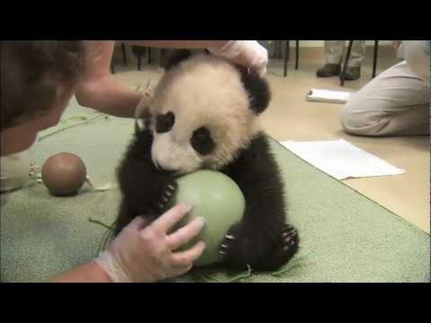 Preslatka beba panda se igra sa loptom