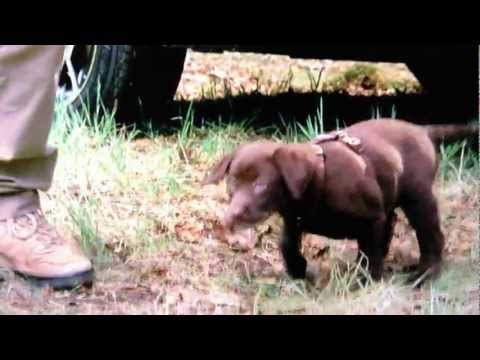 Subaru commercial with chocolate lab puppy