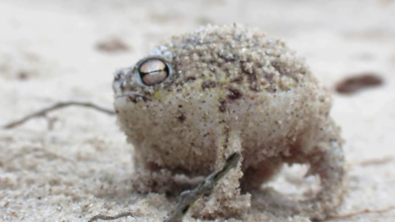 世界最可愛的青蛙叫聲