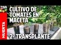 Cultivo de Tomate Parte 2 - Como plantar tomates espectaculares en casa paso a paso