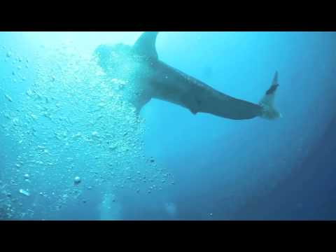 Whale Shark, Cabo Pulmo Reserve