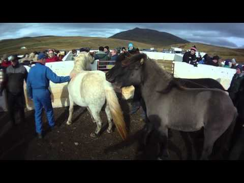 Skarpatungure&#769;tt horse corall in NW Iceland  