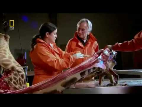 Richard Dawkins demonstrates laryngeal nerve of the giraffe