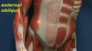 Little Man Model - Abdominal Muscles.avi view on youtube.com tube online.