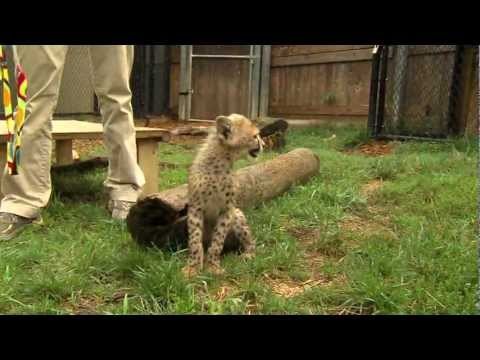 Savanna Cheetah Cub and Puppy Max Play