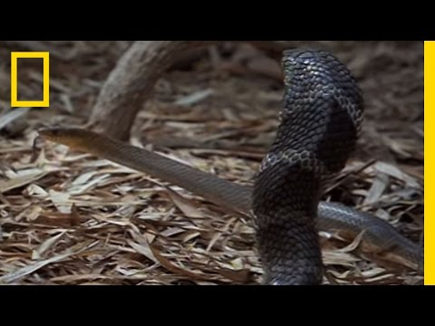 Cobra vs. Rat Snake