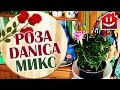МОЯ МИНИ РОЗА ДАНИКА МИКС / Mini Rose Danica D-10 H-25 : Domovenok