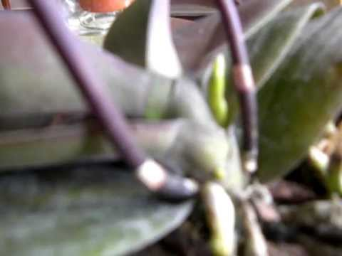 ORCHID CARE: Reblooming Phalaenopisis: Do we really need to cut the old spike?