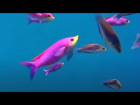 Coral reef fish danger - Blue Planet - BBC Environment