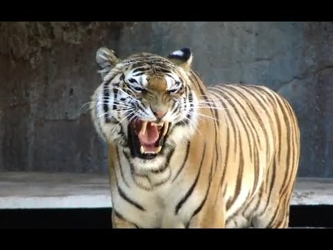 Awesome tiger roar roma bioparco tigre