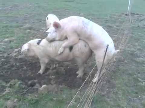 Fat pig gets killed while having sex