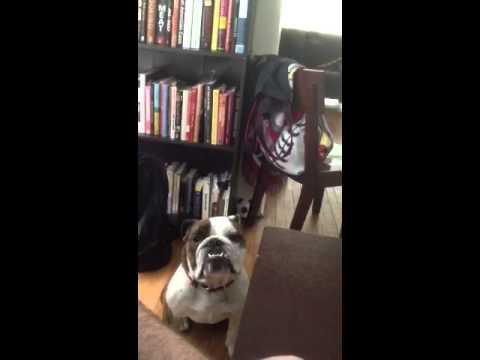 Thumbnail image for 'Bulldog video: Kafka begging for human food'