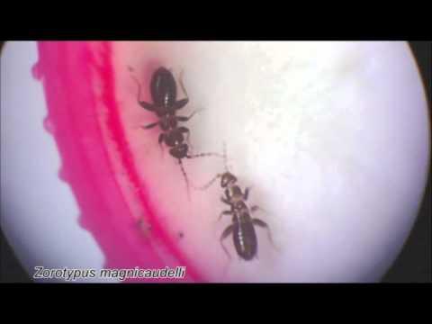 Serangga Unik, Tubuh Mini Sperma Raksasa