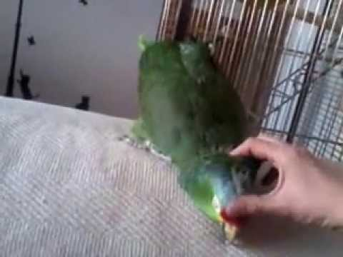 jack the red lored amazon parrot