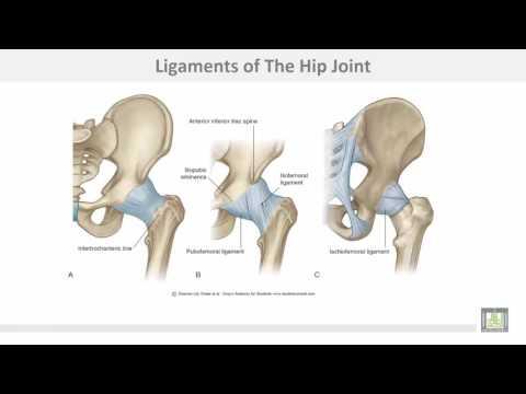 Anatomy 1 | C4 - L3 | Hip joint