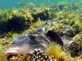 Ricketts Point Sanctuary Port Phillip Bay Scuba Diving Victoria Australia 27.11.13