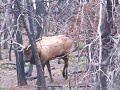 Big Bull Elk...WOW