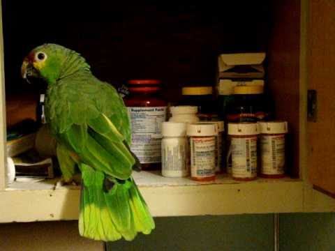 Red Lored Amazon Parrot  Calvin having fun