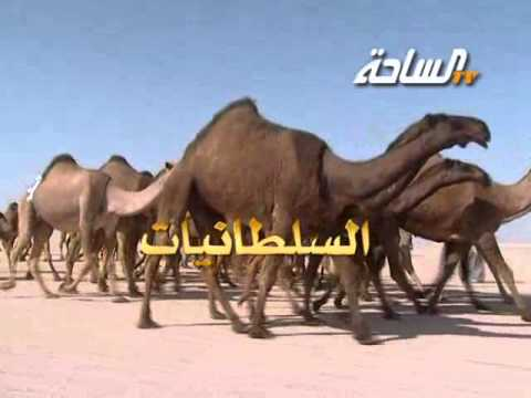 مزاين الكويت 2014 | السلطانيات | منقية / دبيان بن معيض بن دبيان السبيعي