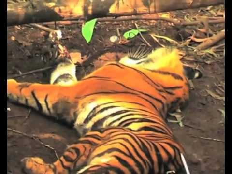 Tigre de Sumatra muere por desmontes en Indonesia