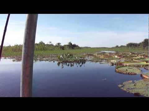 Vitória - régia, Euryale amazonica - Rio Paraguai - Corumbá - MS