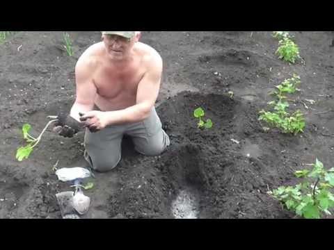 Рассада кабачков