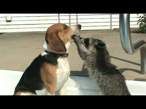 Raccoon dentist of a dog