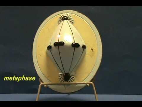 Mitosis Models.avi
