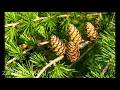 Фрагмент с середины видео Какое дерево посадить у дома, чтобы в семье был достаток, благополучие и любовь? Народные приметы