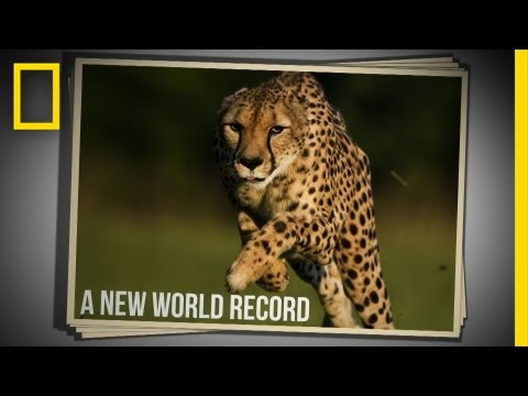 Cincinnati Zoo Cheetah Sets New World Speed Record in 100 Meter Run