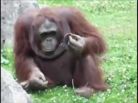orangutan saves little ducky