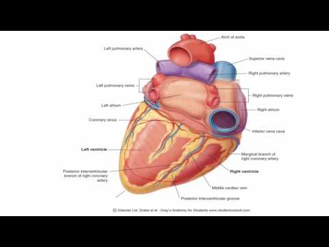 Anatomy 1 | C1 - L8 | Surfaces of the heart
