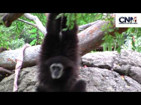 Gibbon Ape - SUPER ACROBATIC!!  - AWESOME in 1080P HD!!