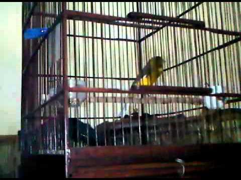 Burung kenari F2YS Juara (blenderan prenjak dan BT)-3