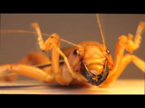 World's Ugliest Bug! (?) in Extreme Closeup HD V10442