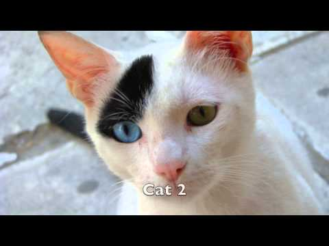 Sonido de Gatos - Maullido - Sonidos de Animales