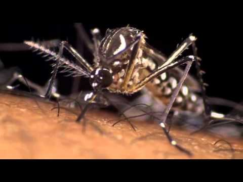 Aedes Aegypti: the Dengue mosquito in action
