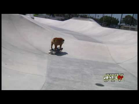 Tillman the Skateboarding Bulldog Skates, Skimboards, and SURFS!!