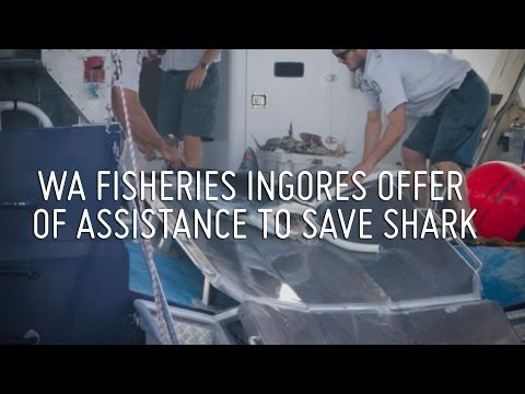 WA Fisheries Dept ignores offer of assistance to save shark