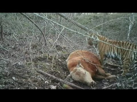 Yikes! Video shows hungry wild Siberian tiger feeding on an ox