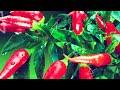 Фрагмент с конца видео ПЕРЕЦ ПРИ ПРОСТУДЕ | ОСТРЫЙ КРАСНЫЙ ПЕРЕЦ ПРИ ПРОСТУДЕ