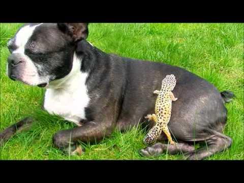 Gušter i pas