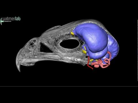 Sharp-shinned hawk: skull, brain endocast, & inner ear based on microCT scanning