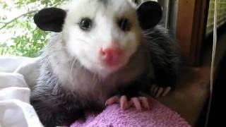 Opossum Eats a Strawberry