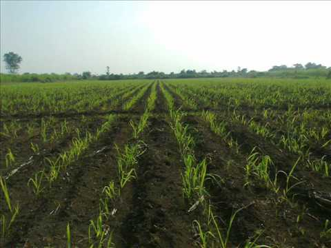 SUGARCANE FARMING IMAGE VIDEO