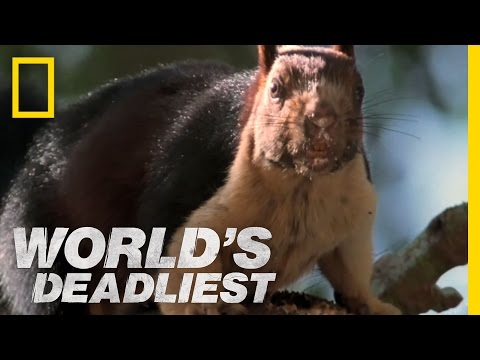 World's Deadliest - Cobra vs. Rat Snake